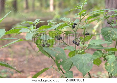 Black Nightshade Bush With Lots Of Mature And Ripening Purple-black Berries, Among Green Foliage