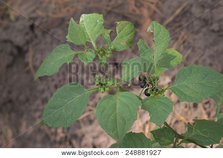 Berries Of Solanum Nigrum, Ball-shaped, Ripe And Unripe On The Same Shrub. Ladybug On Ripen Raceme