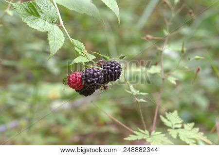Wild Black Raspberry Big Berries, Round-shaped, Ripe And Ripening On The Same Thorny Stem Cluster On
