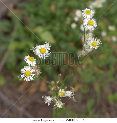 Oxeye Daisy In The Phase Of Active Flowering; Closeup