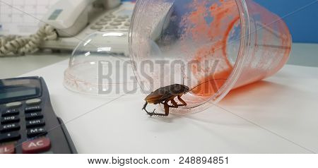 Cockroach On The Office Table Eating A Juice. The Ugly Cockroach Feels Mustache Bread. Cockroaches I