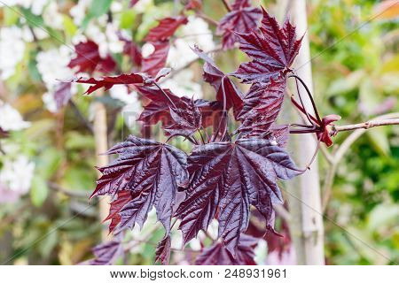 Norway Maple Royal Red Leaves. Acer Platanoides Royal Red. Large Burgundy Coloured Leaves With Five