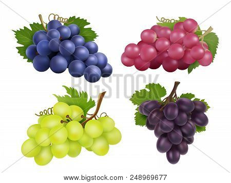 Realistic Grapes. Vector Set Of Various Grape Variety. Collection Of Grape Green And Purple Illustra
