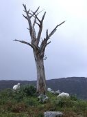 a dead, lifeless tree and some sheep poster