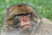 Barbary ape looking angry with a green background poster