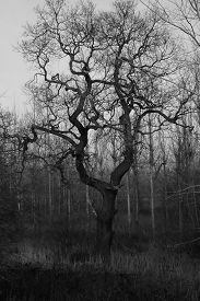 Tall, Bare Trees. Traditional High Contrast Black And White With Simulated Red Filter Effect. Taken