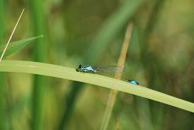 Close-up Of Blue Damselfly (enallagma Cyathigerum) Sitting On Large Green Blade Of Grass. Taken At R