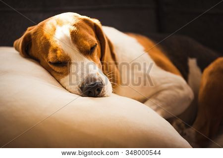Funny Beagle Dog Tired Sleeps On Pillow On Couch. Pet On Furniture Concept. Canine Natural Light Bac