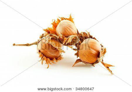 Three Hazelnuts In Husks