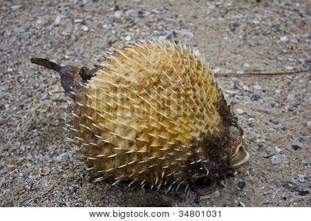 The Blowfish Dies On The Beach