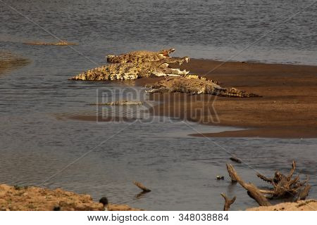 The Group Of Nile Crocodiles (crocodylus Niloticus) Lying On The Sand In The Luangwa River. Nile Cro
