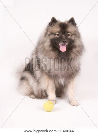 Keeshond Posing With Tennis Ball
