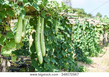 Indian Vegetables Long Winter Melon Gourd Bottle / Calabash Gourd Or Bottle Gourd Hanging On The Vin