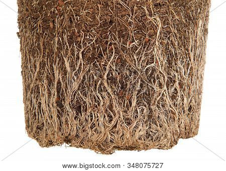 Close Up On Rootbound Plant Pulled From Pot Isolated On White. Root Bound Refers To Plants Roots Gro