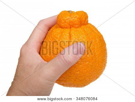 Female Caucasian Hand Holding A Large Sumo Orange Isolated On White Background. Native To Japan, Sum