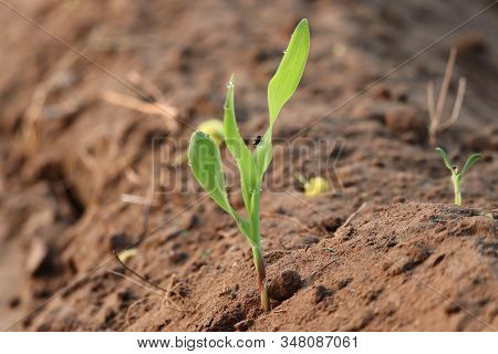 Agriculture. Growing Corn Plants. Corn Plant Seedling. Hand Nurturing And Watering Young Baby Plants