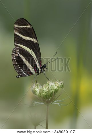 Zebra Longwing Butterfly (heliconius Charithonia) On A Beautiful White Flower (gerbera) In A Summer