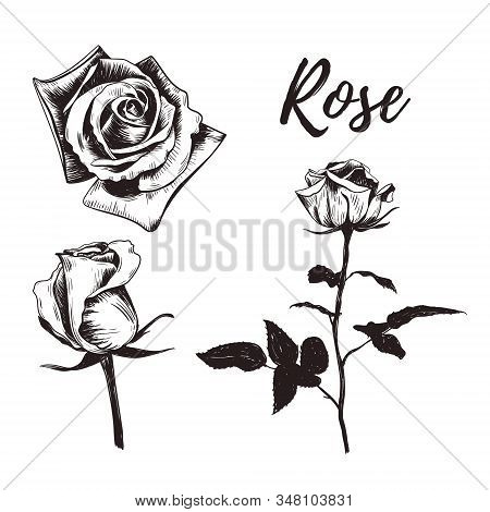 Rose Flower Sketch Drawing. Rose Hand Drawing. Rose Vector Illustration. Collection Of Roses. Flower