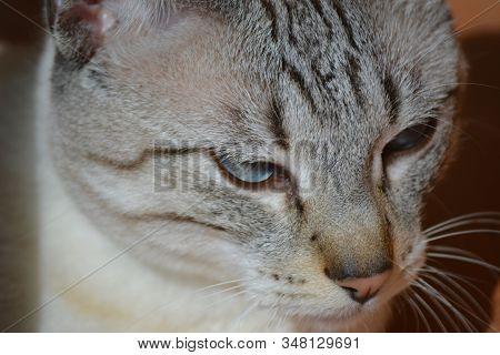 Gato Blanco Y Gris, Amigo De La Casa Mascota Feliz