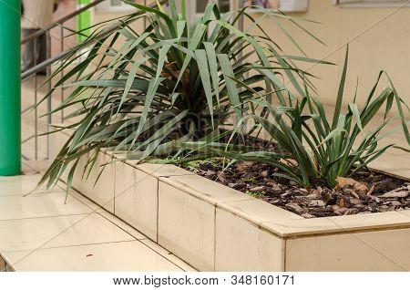 Yuka Garden Or Yuka Filamentous (yucca Filamentosa). Two Bushes Of Evergreen Bushes In The Flowerbed