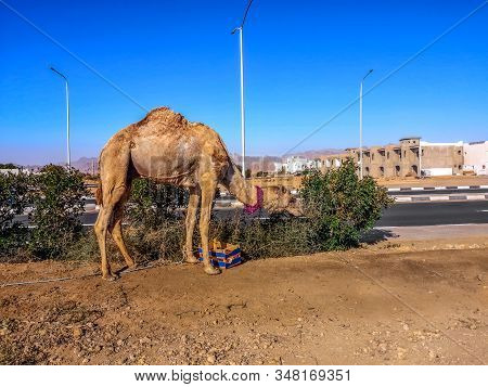 A Camel Eats Leaves From Bushes On The Side Of The Street In Sharm El Sheikh (egypt). Dromedary Agai