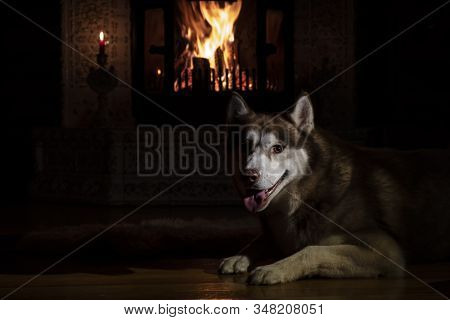 Portrait Husky Dog In Night Room By The Burning Fireplace And Candles. Gloom Lit By Reflections From