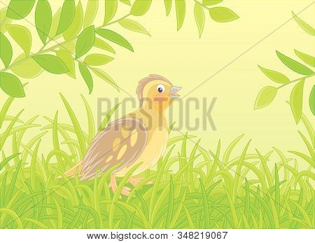 Small Quail With Brown Camouflaged Plumage Walking In Green Thick Grass Of A Glade On A Warm Summer