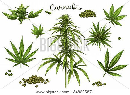 Color Hand Drawn Cannabis. Green Hemp Plant Seeds, Sketch Cannabis Leaf And Marijuana Bud Vector Ill