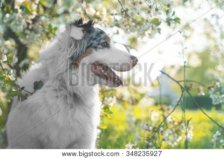 Profile Portrait Of Cute Dog Of Aussie Breed, Or Australian Shepherd, Merle Color, On Blooming Sprin