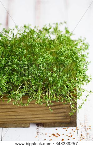 Close-up Of Watercress Salad Microgreens, Green Leaves And Stems. Sprouting Microgreens. Seed Germin