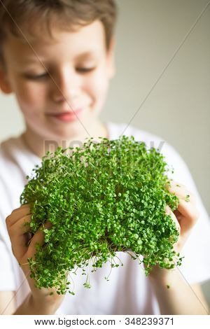 Microgreen Sprouts In Kids Hands Raw Sprouts, Microgreens, Healthy Eating Concept. Sprouting Microgr