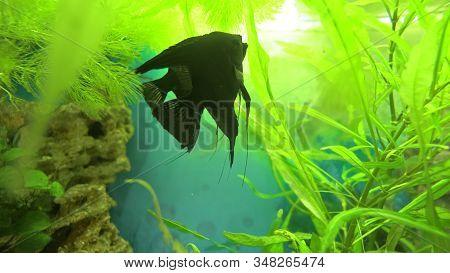 Angelfish Pterophyllum Scalare In Aquarium Fish Black And White Color.