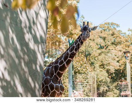 Beautiful Spotted Giraffe With Long Neck Looking From Behind The Concrete Fence In Zoo Against Autum