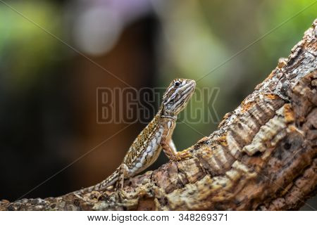 Picture Of Small Multicolored Lizard Climbing Tree Trunk And Looking Cautiously If There Is Any Dang