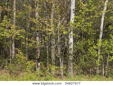Trees at Woodland Edge