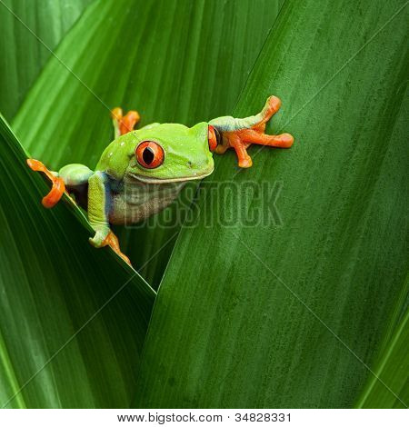 red eyed tree frog crawling between leafs in jungle at border of Panama and Costa Rica in the tropical rainforest, cute night animal with vivid colors, agalychnis callidryas