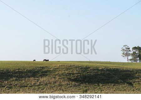 Extensive Cattle Ranch In Southern Brazil, Bordering Argentina And Uruguay. Beef Cattle Raised In Ar