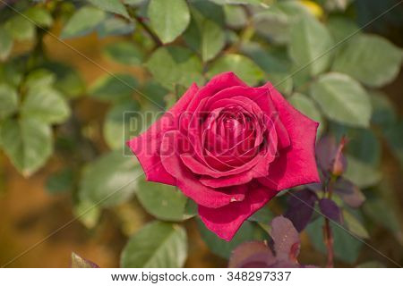 Red Rose, An Important Anti-authoritarian, Socialist And Social Democratic Symbol.red Rose, The Symb