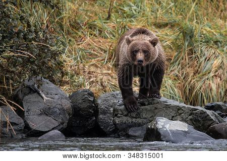 Dangerous Encounter - Grizzly bear in a creek in  searching for Salmon , the staple diet for the bears on the  wilderness of Katmai, Aalska