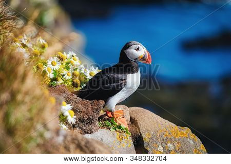 Puffin In The Iceland. Seabirds On Sheer Cliffs. Birds On The Westfjord In The Iceland. Composition