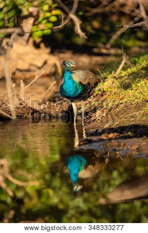 Peafowl Or Peacock National Bird Of India With Reflection In Water At Ranthambore National Park, Raj