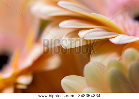 Close-up Of A Gerbera Flower. Macrophotography Of Gerbera Leaves. Beautiful Backdrops For Greeting C