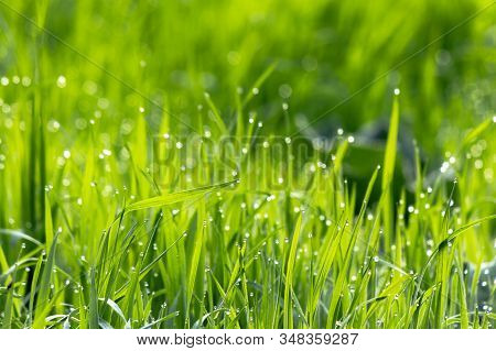 Dew Drops On The Green Grass. Wonderful Close Up Of Nature Background In The Morning. Freshness Conc