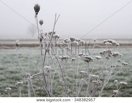 Weeds And Herbs Covered With Frost