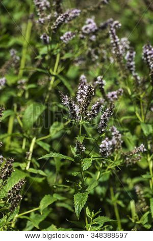 Flowers And Leaves Of Spearmint (mentha Spicata)