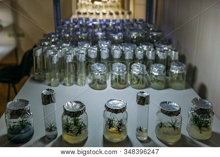 Cloned Micro Plants In Test Tubes With Nutrient Medium. Micropropagation Technology In Vitro