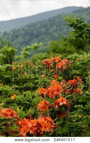 Flame Azalea Close Up In Front Of Mountains In The Roan Mountain Highlands