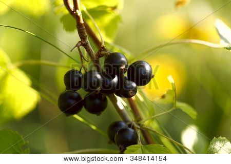 Berries Of Black Currant On A Branch. Close-up Round Black Berries. A Sunbeam Falls On The Berries O
