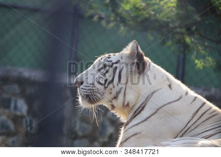 Side View Of Rare Black And White Striped Adult Tiger, Tigers Known Names- Siberian Tiger, Bengal Ti