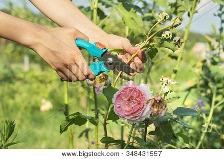 Summer Seasonal Gardening, Womans Hands With Secateurs Cutting Off Wilted Flowers On Rose Bush, Hobb